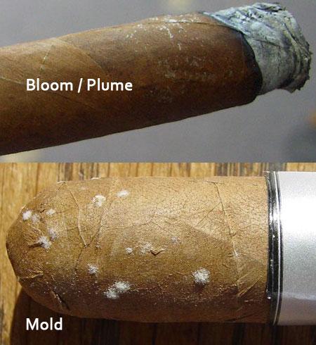 cach phan biet cigar len tuyet hay bi moc 4